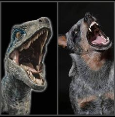 The resemblance is uncanny. All Dogs, I Love Dogs, Puppy Love, Austrailian Cattle Dog, Local Shelters, Dog Rules, Blue Dog, Working Dogs, Cute Animals