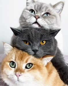 The purrfect trio - Katzenrassen Beautiful Cats Cute Baby Cats, Cute Cats And Kittens, Cute Funny Animals, Cute Baby Animals, Cool Cats, Kittens Cutest, Funny Cats, Fluffy Kittens, Pretty Cats