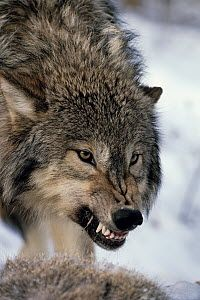 Gray Wolf (Canis lupus) growling, North America