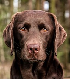 Chocolate Labrador Retriever Puppy Dog