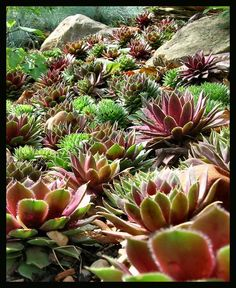 hen and chicks plant photo | Hens and Chicks by ~Roaguewolf on deviantART