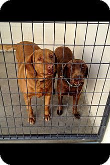 TENNESSEE URGENT-  Candie & Diamond are 2 spayed HW- adoptable Chocolate Labrador Retriever dogs in Chatanooga. Owner w/terminal illness recently admitted to nursing home had to give up his beloved dogs. They need a Foster Adopter NOW ~ contact Southern ROOTS Rescue at kim.southernrootsrescue@gmail.com if you can help <3