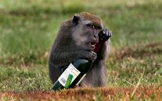 Malaysian monkeys always prefer red wines at their weekend parties.