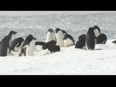 Here's a fun video of penguins (Adelie, Gentoo, and Chinstrap) from my November 2009 trip to Antarctica aboard the National Geographic Explorer. Winter Fun, Winter Theme, Winter Ideas, Groundhog Day, Penguin Research, Penguin Videos, Artic Animals, Penguins And Polar Bears, Snow Theme