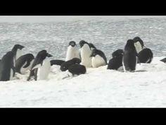 ▶ Penguins In Antarctica - YouTube