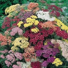 Mandragora's Garden:  Perennial #Yarrow comes in several different colors, not just the familiar yellow.