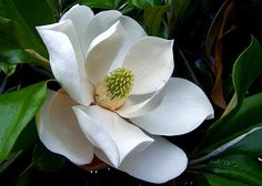 Magnolia Blossom...Louisiana Beauty