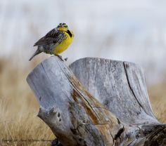 A Western Meadowlark stump sitting in Northern Colorado. By Shawn Mason