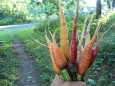 Fun, beautifully colored carrots for the GIRLZ first garden ♥