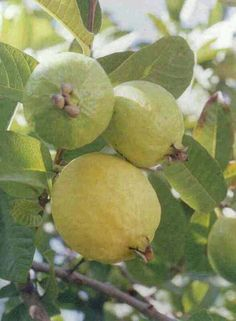 Fruit And Veg, Fruits And Vegetables, Fresh Fruit, Fruit Plants, Fruit Trees, Fruit Bearing Trees, Guava Fruit, Guava Leaves, Importance Of Food