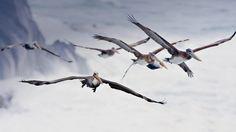Bing Image Archive: Pelicans in flight, near Bandon, Oregon (© Cindy Kassab/Corbis)(Bing United States)