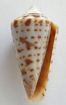 Aperatural view of shell of Gradiconus regularis (G.B. Sowerby I, 1833)