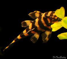 butterfly_pleco_L-052