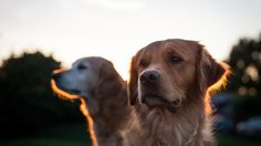 Golden retrievers, bathed in light during golden hour! #photography