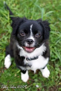 Border Collie Chihuahua Mix | puppy she is a border collie chihuahua mix we think isn t she cute