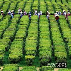 For tea lovers, a trip to the Azores is not to be missed! Visit Chá Gorreana Tea Estate to taste Europe's finest teas and see how they're grown. Portugal Vacation, Portugal Travel, Portugal Trip, Santa Maria Island, Paradise Travel, Different Shades Of Green, Whale Watching, Archipelago, Plan Your Trip