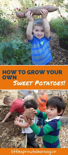 Growing sweet potatoes is easy and fun. It's so exciting for me and the kids to grow things under the ground. They are yummy and good for you!