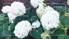 Renovation facelift for city Garden Garden Design, Cabbage, Vegetables, Flowers, Plants, Hydrangeas, Instagram, Green, Cabbages