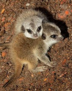 Five Sisters Zoo in Scotland is celebrating the birth of two baby Meerkats. - What could be cuter than baby Meerkats? Baby Zoo Animals, Newborn Animals, Animals And Pets, Wild Animals, Beautiful Creatures, Animals Beautiful, Baby Meerkat, Animal 2, All Gods Creatures