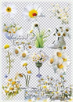 Букеты и цветы ромашек, ромашки в композиции - клипарт на прозрачном фоне