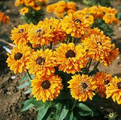 Check out the deal on Rudbeckia hirta 'Goldilocks' at Specialty Perennials - Flower Seeds Summer Bedding Plants, Gloriosa Daisy, Thing 1, Free Plants, Annual Flowers, Types Of Soil, Flowers Perennials, Flower Seeds, Planting Seeds