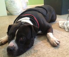 Tyson is an adoptable American Staffordshire Terrier Dog in Spring Lake, NJ. Tyson is a fun-loving pit mix who requires very little exercise. After a short walk, he plops down on the grass and roll...