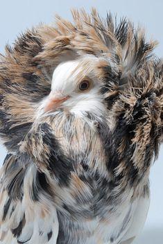 Jacobin Pigeon Jacobin Pigeon, Pigeon Pictures, Fargesia, Pigeon Loft, Birds Of Prey, Greatest Hits, Beautiful Birds, Bald Eagle, Peru
