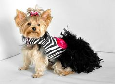 Perro vestido plumas arnés  cebra Haute  Couture