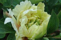 Paeonia Itoh-hybrid 'Yellow Emperor'