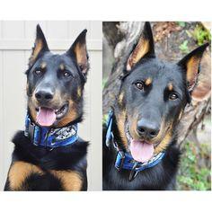 Loving Atreyu's custom Star Wars collar from @kommanderkratos ====================================== Atreyu's buddies @Abbythehusky   @FlynnAndAce #atreyuthebeauceron#beastyoffleash#workingdog#sandiego#croppedandloved#doubledeweddude#dogsofig#dogsofinstagram#dog#akcbeauceron#puppy#shepherd#bergerdebeast#frenchshepherd#beauceron#realbeauceron#basrouge#bergerdebeauce#sandiegobeauceron#starwars#customcollar#dogcollar by atreyuthebeauceron#dogcollar #lacyandpaws