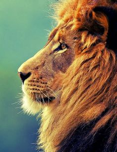 majestic lion king