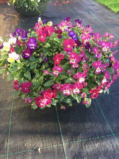 Pin do a maxiflor produ o e comercializa o de plantas for Viola cornuta inverno
