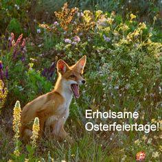 Die #Private #Arbeitsvermittlung IPSER wünscht frohe #Ostern und erholsame Tage! Corgi, Fox, Animals, Happy Easter, Animales, Kunst, Corgis, Animaux, Animal