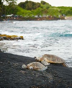 Spotted: Sea turtles resting on the black sand at Punalu'u Beach.