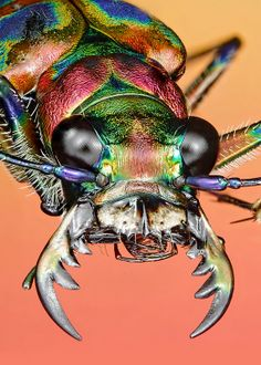Micro Photography, Insect Photography, Cool Insects, Bugs And Insects, Beautiful Bugs, Animals Beautiful, Cool Bugs, Beetle Insect, Fotografia Macro