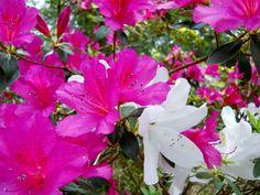 Brilliant pink and white azaleas in juxtaposition