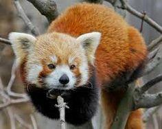 Animais Incríveis: Panda Vermelho