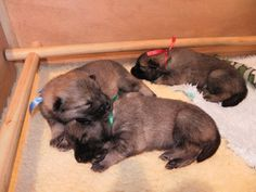 Three weeks, snoozing with his brothers.
