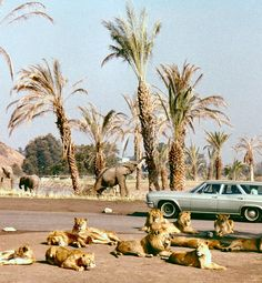 Lion Country Safari, Irvine, 1971   by Orange County Archives, via Flickr