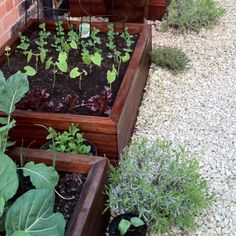 Our vegetable patch.  This year we grew cabbages, lettuce, peas and much more. We also planted out herbs in the gravel to soften the hard edges of the planters.