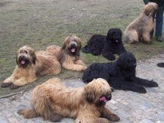 briard dog photo   of Briard dogs photo and wallpaper. Beautiful Group of Briard dogs ...