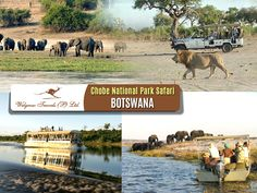 Come to #ChobeNationalPark on your Botswana #safari holidays for impressive herds of buffalo and #elephants, hunted by large #lion prides, as well as magical waterways! Chobe day trips are very popular amongst travellers and visitors. Chobe #NationalPark is one of the most pristine settings in #Botswana.
