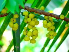 What is Amla and Why Is It Such a Potent Superfood?