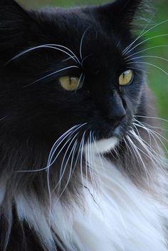 Maine Coon #Cat