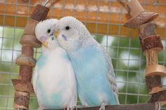 Wellensittich-Bild: Moinsen - Wellensittich-Portal Welli.net Baby Budgies, Parakeets, Parrots, Blue Parakeet, Cute Birds, Beautiful Birds, Ducks, Cute Pictures, Brain