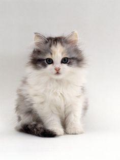 Domestic Cat 9-Week Chinchilla-Cross Kitten