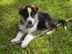 Tri-Colored Aussie Puppy #australianshepherdpuppy ... |Tri Color German Shepherd Breeders