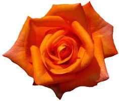 Rose Orange Blossom Bloom transparent image