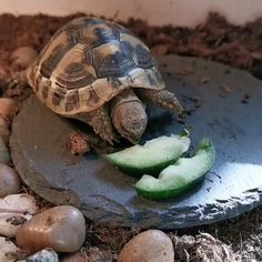 Hermann's Tortoise as Pets - Animal Curious Cute Tortoise, Red Footed Tortoise, Tortoise As Pets, Tortoise Food, Tortoise Habitat, Turtle Habitat, Baby Tortoise, Tortoise Care, Tortoise Turtle