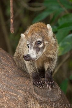 The Coati is closely related to the raccoon. And like its cousin, this mammal is the size of a large house cat, has a ringed tail, and hangs out in trees.